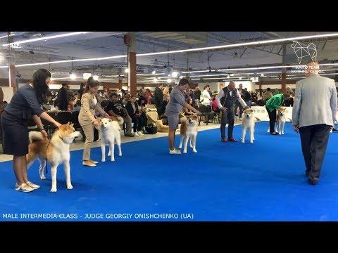 EURO DOG SHOW 2018 | MALE INTERMEDIA AKITA EDS | POLAND WARSAW | EDS 2018