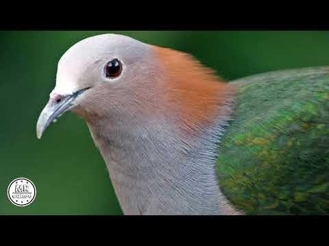Suara pikat burung Pergam/Kum-kum Ala MRCUNEE  #SNIPERKULU2