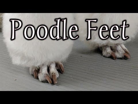 How to Shave Poodle Feet