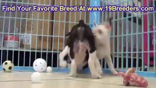 Frenchton, Puppies, For, Sale, In, Anchorage, Alaska,AK, Fairbanks, Juneau, Eagle River