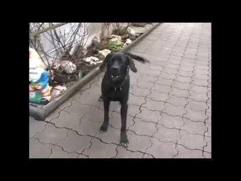 Labrador barking loudly