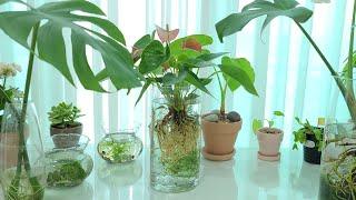 공기정화식물 안시리움 수경재배 식물인테리어 구피 키우기…