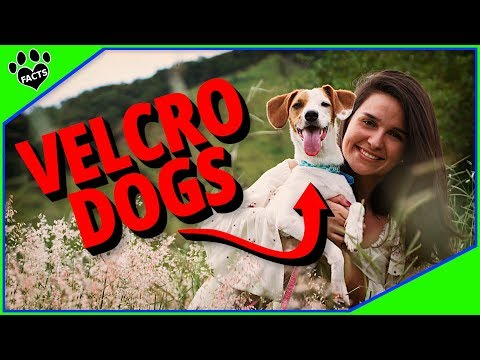 Your Top 10 Velcro Dog Breeds - Dogs That Won't Leave Your Side
