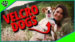 Velcro Dog Breeds  Dogs That Won't Leave Your Side 2