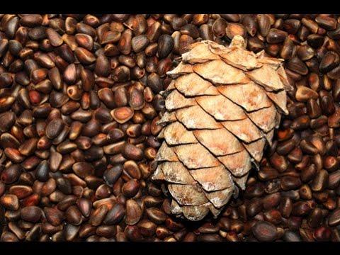 Настойка на кедровых орешках – кедровка на спирту