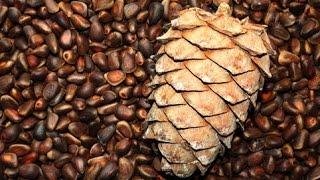 настойка на кедровых орехах и коре дуба