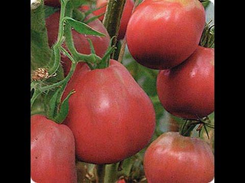 Высокорослые томаты : Благовест, Трюфель красный, Крупноплодный томат /Пасынкование / Формирование