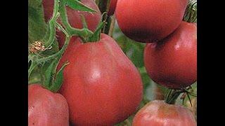 Высокорослые томаты : Благовест, Трюфель красный, Крупноплодный томат /Пасынкование / Формирование(В этом видео я рассказываю, как я формирую высокорослые томаты. Что делать если томат преждевременно заверш..., 2015-06-18T23:16:18.000Z)