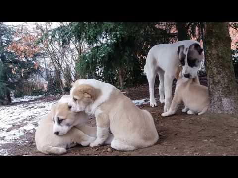 Central Asian Shepherd puppies - Owczarek Środkowoazjatycki - Balszoj CAO Kennel
