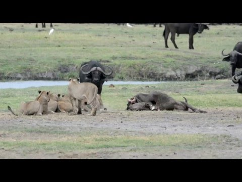 Lions vs Buffalo on Chobe River