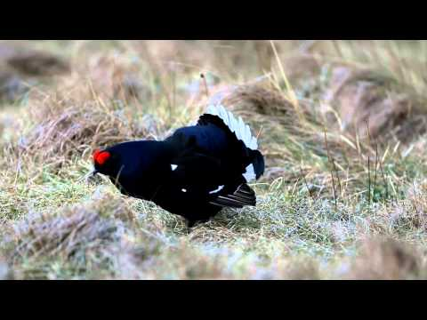Black Grouse Lek