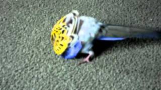 Buddy our Rosella Parrot