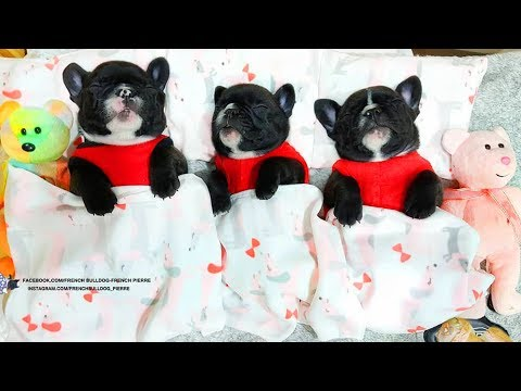 FRENCH BULLDOG PUPPIES | Funny and Cute French Bulldog Puppies Compilation # 28 | Cute pets