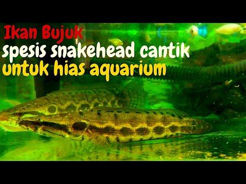 Ikan Bujuk Spesis Snakehead Cantik Untuk Dipelihara Di Aquarium | The Forest Snakehead Channa Lucius