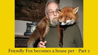 Friendly fox becomes house pet - Part 2