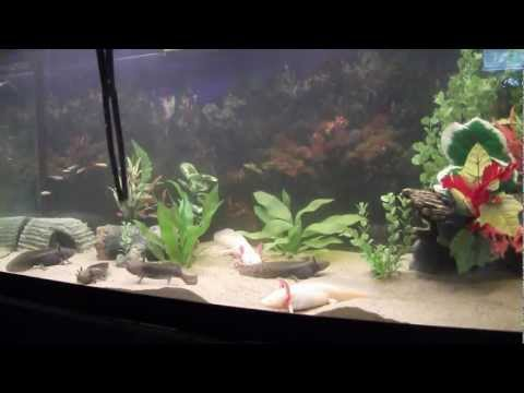 75 Gallon Axolotl Tank Feeding Time