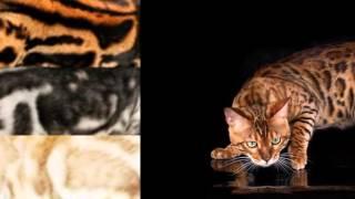 Окрасы бенгальских кошек и картинки.