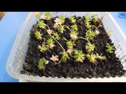 🌱Милейшая Камнеломка ! Выращивание и размножение ! 🌱