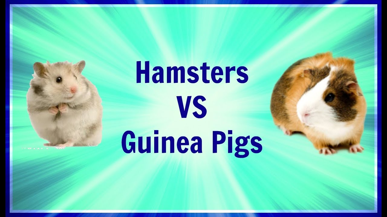 Uncategorized Hamsters And Guinea Pigs hamsters vs guinea pigs similarities and differences paigespets youtube
