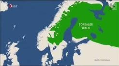 Abholzung schützenswerter Wälder für Taschentücher - Borealer Nadelwald