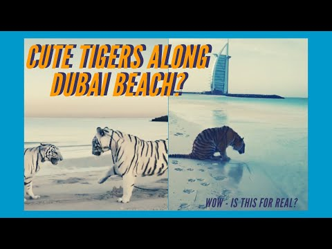 CUTE TIGERS Playing Along Jumeirah Beach Dubai | Must Watch in 2020