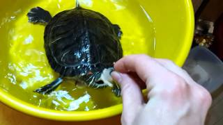 как сделать кальций для красноухих черепах
