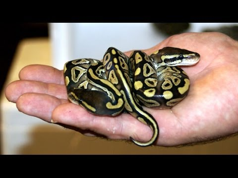 Getting Ball Pythons Up To Size Youtube