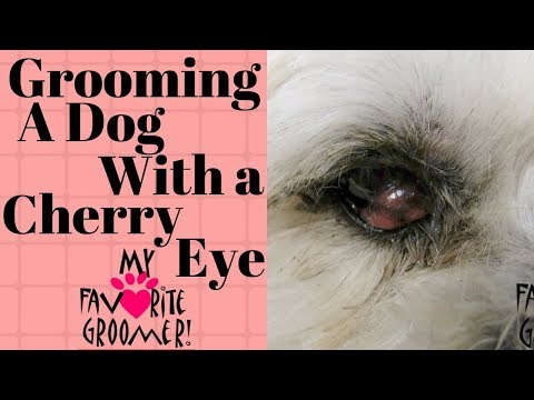 Grooming a Dog with a Cherry Eye