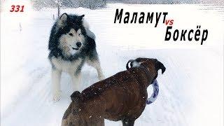 МАЛАМУТ vs БОКСЁР