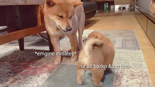 amgery-daddo-the-return-ep14-shiba-inu-puppies-with-captions