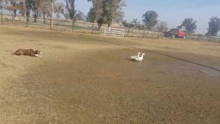 1-30-2017.  PYRO training the new ducks     2 year old border collie