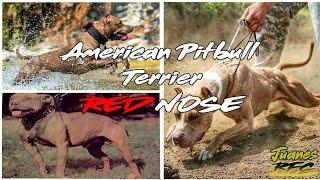Historia del Pitbull RED NOSE - OFRN | JuanesRFC_DogsTV
