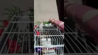 تغريد طائر الحسون في القفص Chardonneret صيد جديد 2021