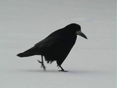 Смешное видео. Хитрая ворона стырила кошкин обед.
