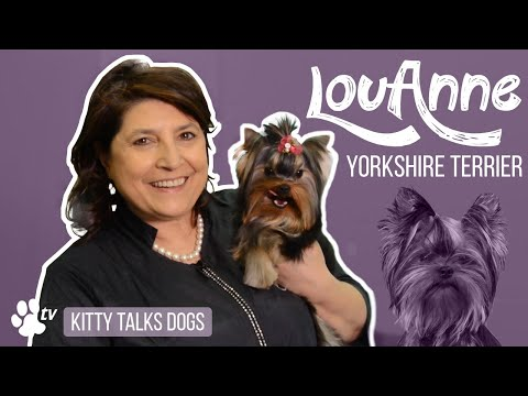 Kitty Talks Dogs: grooming Lou-anne the Yorkshire Terrier | TRANSGROOM