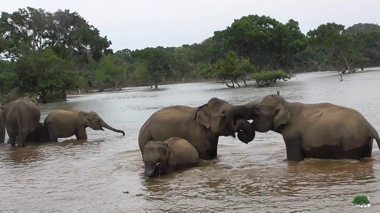 Elephant Of Yala Youtube