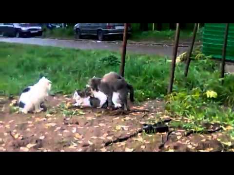 Кошачьи оргии смотреть