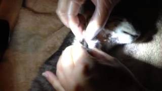 Botfly Larvae Removal From a Kitten