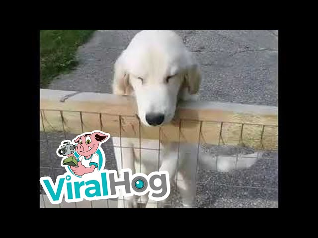 Golden Retriever Squints with Happiness || ViralHog