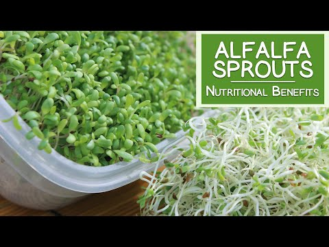 Alfalfa Sprouts, Best Quality to Consume for Highest Health