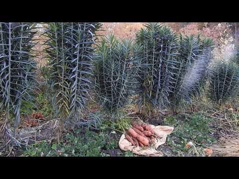 Herbal Materia Medica #20 Gopher Spurge Euphorbia Lathyris