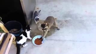 Нетепичная Махачкала)) енот украл еду у кошек.