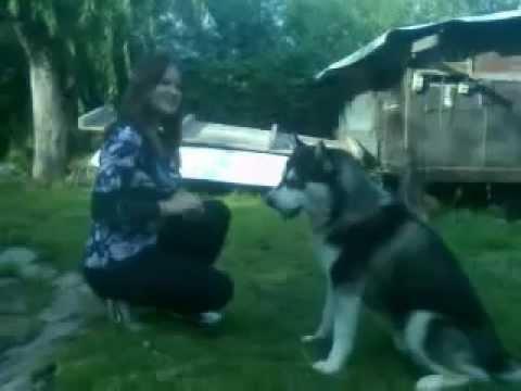 Alaskan Malamute Tricks