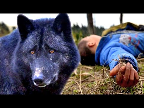 Amazing story about the wolf's loyalty