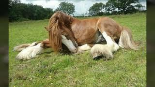Лошади тяжеловозы - картинки