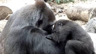 So cute! Baby gorilla spoils mom.母ゴリラに甘える赤ちゃんゴリラ。 U...