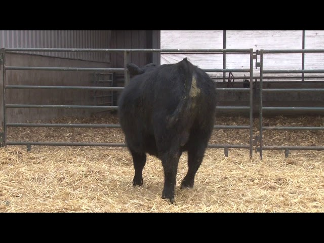 Schiefelbein Angus Farms Lot 299