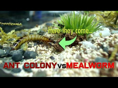 Thumbnail: Ant Colony vs Mealworm
