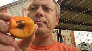 Жизнь вне орхидей 51. летняя дача для КУР и первый абрикос