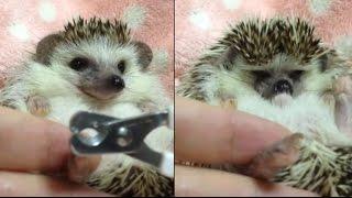 ハリネズミのえびす丸 025 つめきりこわい & マッサージ Hedgehogs Nail Clipping & Massage